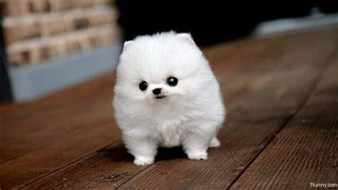 tiniest puppy tiny puppy 1funny