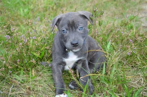 boy pitbull puppy names 80 cool pitbull names everydayknow