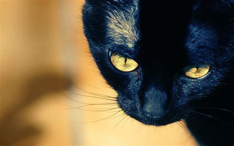 black kitten hd wallpaper hd black cat wallpaper 24148 1920x1200 px hdwallsource com