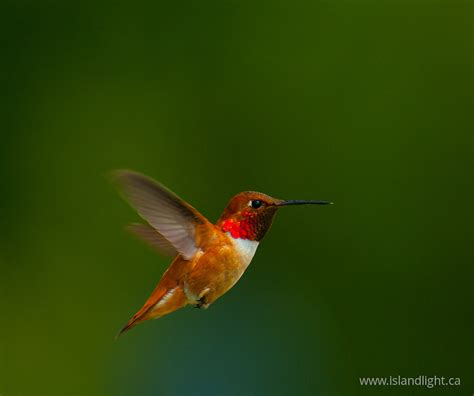selasphorus rufus hummingbird stockphoto from cortes