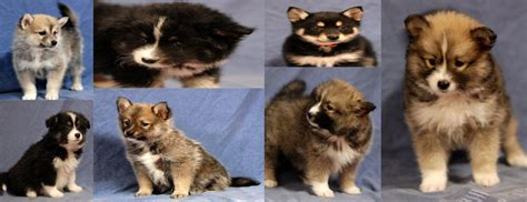 cheap pomsky puppies for sale german shepherd puppies for sale in ohio cheap breeds picture
