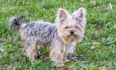 names for a yorkie yorkie names 100 sweet sassy ideas my s name