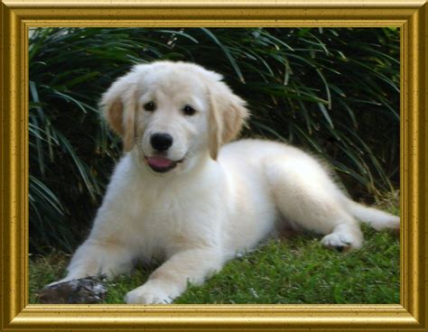 golden retriever puppies for sale in la akc golden retriever puppies for sale in covington louisiana hunnington farms