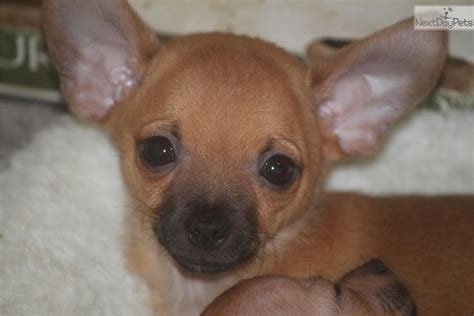 chihuahua puppies for sale near me small fawn chihuahua puppy for sale near portland oregon