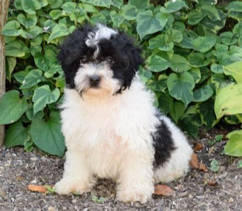 shih poo puppies for sale in illinois friendly shih poo puppies craigspets
