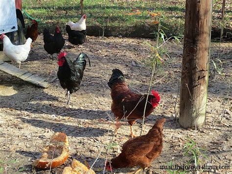 best backyard chickens for eggs best backyard chickens facts about chickens best