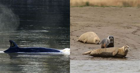 Thames River Animals | seriously unexpected marine mammals are being spotted in
