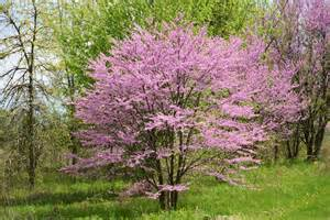 Redbud Tree Plant A Day Eastern Redbud Naturally Speaking
