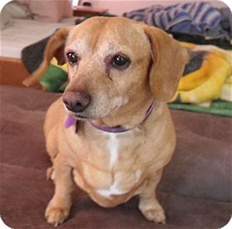 adoption boise boise id dachshund mix meet rollie a for adoption
