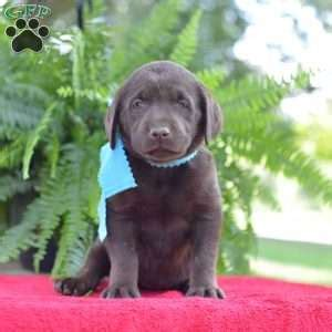 puppies for sale in philadelphia 300 chocolate lab puppies for sale in pa greenfield puppies