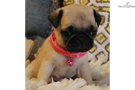 pug puppies for sale orange county pebbles pug puppy for sale near orange county california 184c705b d141