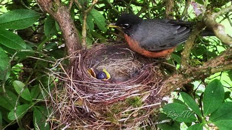 what do baby robins eat