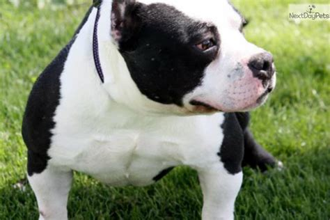 bully puppies for sale in ohio bully pitbull puppies for sale in ohio driverlayer search engine