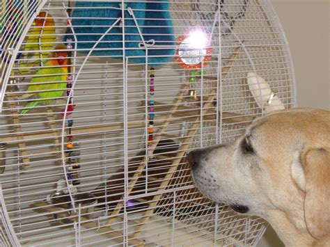 file agapornis two pet lovebirds in cage 8a jpg