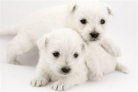 newborn puppy crying   cuteness