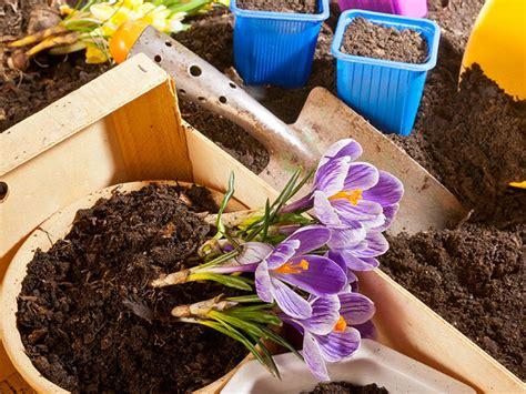 coltivare lo zafferano in vaso come coltivare lo zafferano in vaso sul balcone aprire azienda