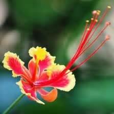Bibit Semangka Kuning Non Biji bibit bunga nemophilia black