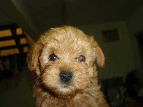 yorkie poodle mix price terrier mix poodle puppies for sale adoption from selangor subang