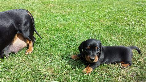 black dachshund puppies black miniature dachshund puppy chelmsford essex pets4homes