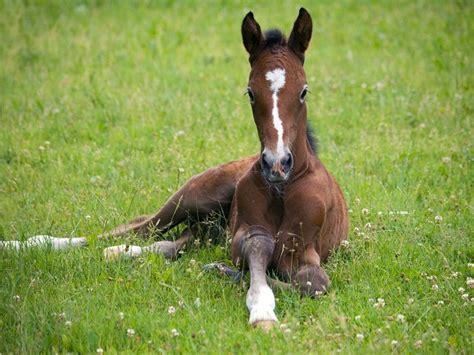 liegen pferde beim schlafen fohlen kaufen verkaufen pferdemarkt pferde de