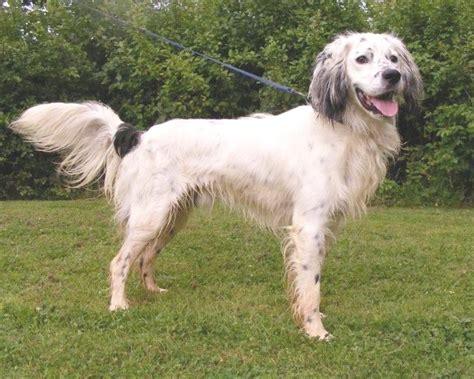 setter cross dog rescue selwyn 1 1 2 2 year old male setter cross spaniel dog