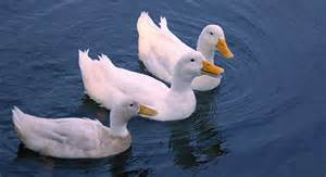 interesting facts about ducks the fact site
