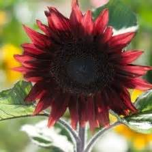 Bunga Matahari Sunflower Maximilian bibit sunflower golden petals