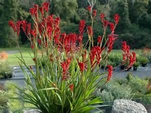 anigozanthos bush ballad kangaroo paw gardening with