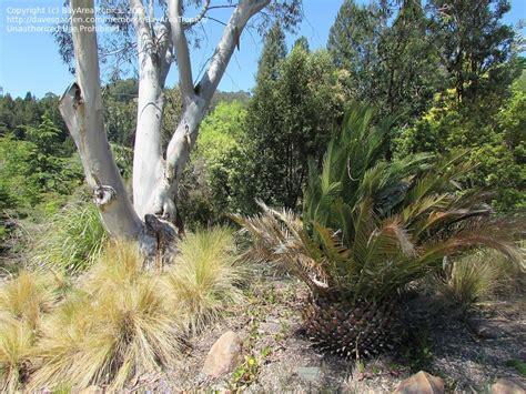 Plantfiles Pictures Cycad Burrawang Burrawong Uc Berkeley Botanical Garden