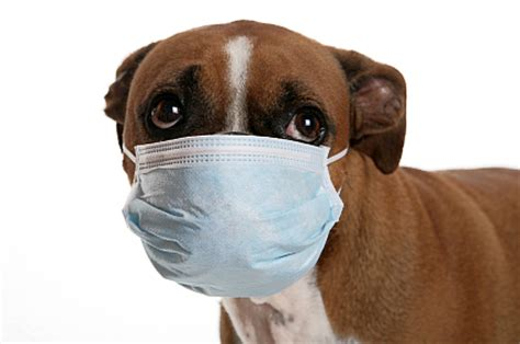 can dogs get sick from humans human to pet transmission a concern at the onset of flu season 171 laurelwood animal