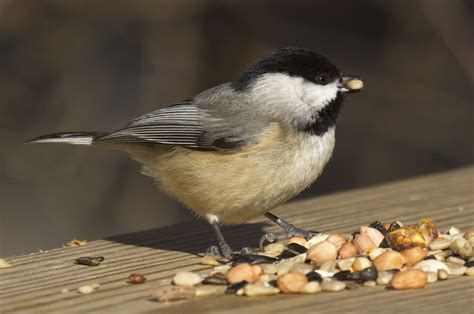 interesting facts about carolina chickadees you probably