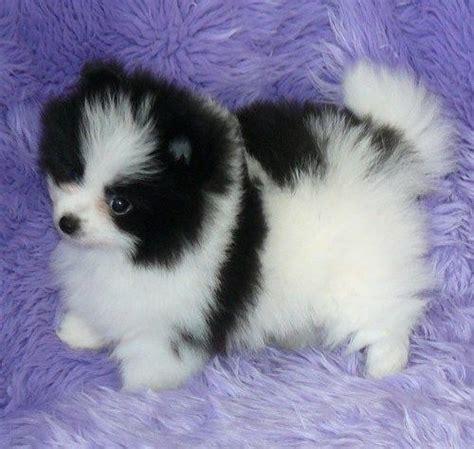 pomeranian puppies for sale in albuquerque 17 best ideas about pomeranian puppies for free on pomsky puppies