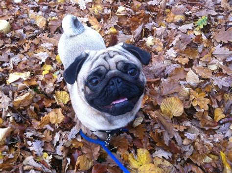pug won t go to bed myths de bunked test your knowledge with these leashes optional