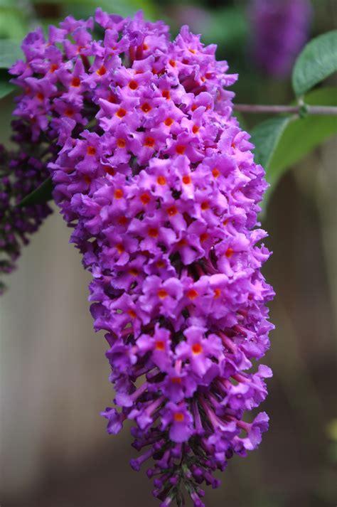 purple lilac purple lilac jasminerose