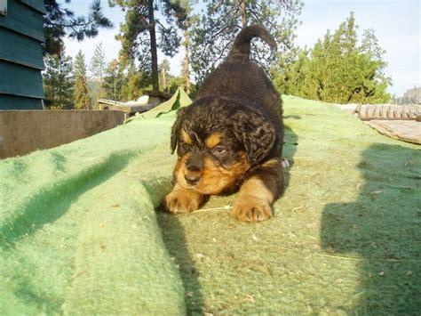 bernese mountain x golden retriever bernese mountain x golden retriever pups pets mountain dogs