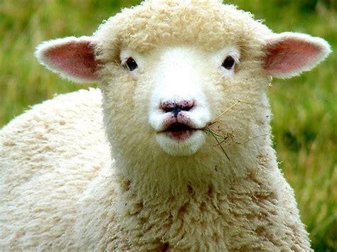 Komik Counting Sheep sheep images andreael portfolio oooh la la