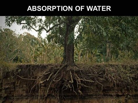 water absorbing absorbs water plants images