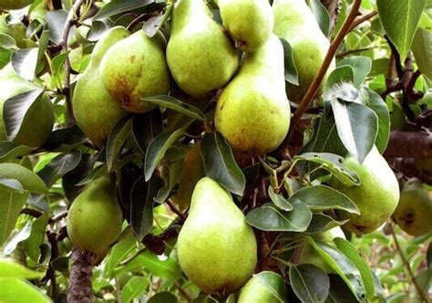 exles of fruit trees fruit trees small orchard pear apple cherry plum