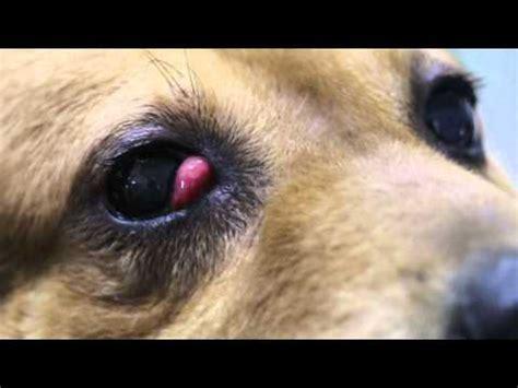 cherry eye treatment cherry eye treatment home remedy for dogs k9 1 doovi