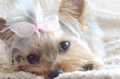 yorkies with bows yorkie puppy in pink bow loveeee