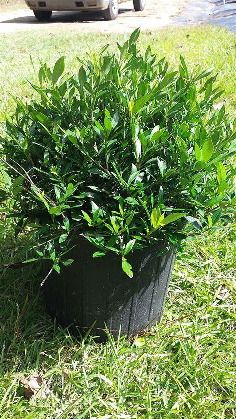 forest hill plant ceaux plantantcom