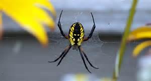 black yellow garden spider