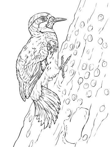 acorn woodpecker coloring page supercoloringcom