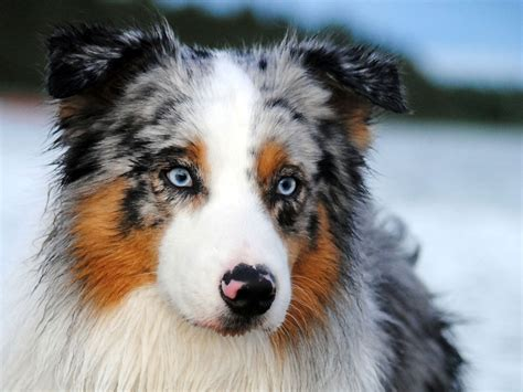 australian sheepdog puppy the australian shepherd a true western canineplanet net