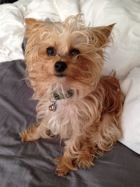 yorkie teddy bear face haircut yorkie poo teddy bear cut hairstyle gallery