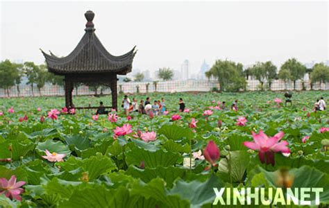 lotus in china lotus flower show opens in central china