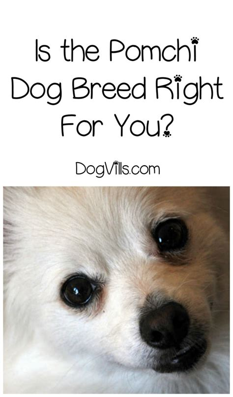 what breed are you is the pomchi breed right for you dogvills