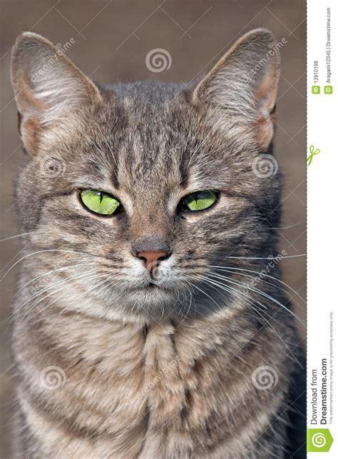 staring cat royalty free stock photos image 13910198