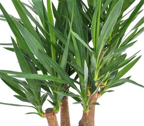gartenyucca pflege riesen palmlilie yucca palme dehner garten center