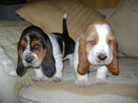 puppies for sale ta basset hound sale singapore basset hound puppies buy buy basset hound breeders